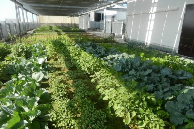 Urban agriculture a possible solution to UAE food needs
