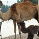First Bactrian Camel Clone